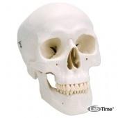 Классическая модель черепа, 3 части