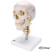 Модель черепа на шейном отделе позвоночника, 4 части