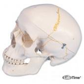 Классическая модель черепа, пронумерованная, 3 части
