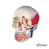 Классическая модель черепа, раскрашенная, с открывающейся челюстью, 3 части