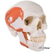 Функциональная модель черепа с жевательными мышцами, 2 части