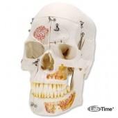 Демонстрационная модель черепа класса «люкс», 10 частей