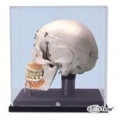 Демонстрационная модель черепа класса «люкс», с витриной