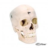 Модель половины черепа из материала BONElike™, 4 части