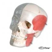 Модель комбинированного черепа, прозрачный/костный, 8 частей