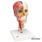 Дидактическая модель черепа класса «люкс», материал BONElike™, 8 частей