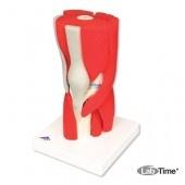 Модель коленного сустава, 12 частей
