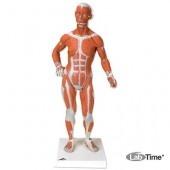 Фигура с мышцами, 1/3 от натуральной величины, 2 части