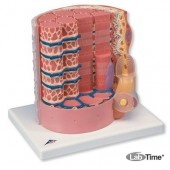 Модель мышечного волокна 3B MICROanatomy™