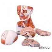 Модель мускулатуры головы и шеи, 5 частей