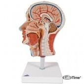 Модель половины головы с мышцами
