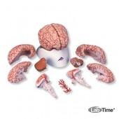 Модель мозга с артериями, 9 частей