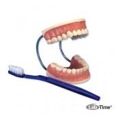 Гигантская модель «Уход за зубами», 3-кратное увеличение