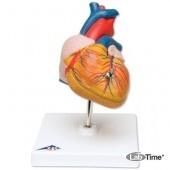 Классическая модель сердца, 2 части