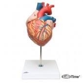 Модель сердца, 2-кратное увеличение, 4 части