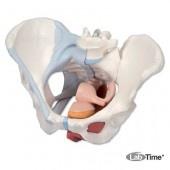 Модель женского таза со связками, мышцами тазового дна, органами