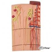 Модель нефронов и кровеносных сосудов, 120-кратное увеличение