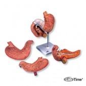 Модель желудка, 2 части
