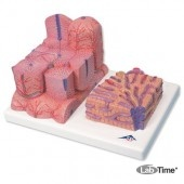 Модель печени 3B MICROanatomy™