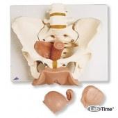 Модель таза с половыми органами, 3 части