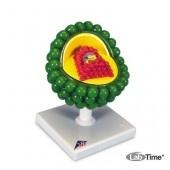 Модель вируса СПИДа