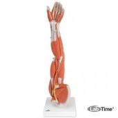 Модель отпрепарированной руки с мыщцами, 6 частей
