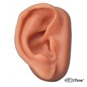 Модель уха для акупунктуры, правое