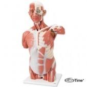 Торс с мышцами, в натуральную величину, 27 частей