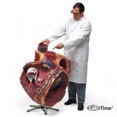 Модель гигантского сердца, 8-кратное увеличение