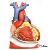Модель сердца на диафрагме, 3-кратное увеличение, 10 частей