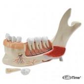 Модель половины нижней челюсти, 3-кратное увеличение, 11 частей