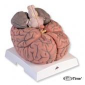 Модель гигантского мозга, 2.5-кратное увеличение, 14 частей