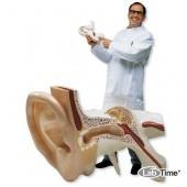 Модель самого большого в мире уха, 15-кратное увеличение, 3 части
