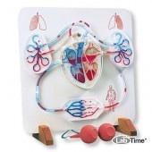 Функциональная модель сердца и сосудистой системы