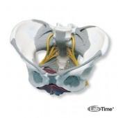 Модель таза со связками, нервами и мышцами тазового дна