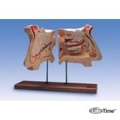 Модель носа и орган обоняния, 4-кратное увеличение