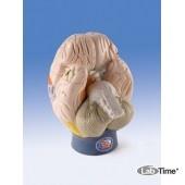 Модель областей мозга, 4 части