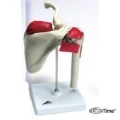 Модель спортивного плеча