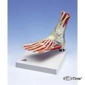 Модель стопы с голеностопным суставом класса «люкс»