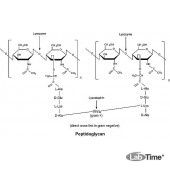 Лизоцим, куринный яичный белок, 5 г (Alfa)